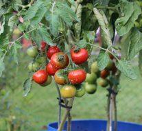 Jak pielęgnować pomidory, aby szybciej rosły?